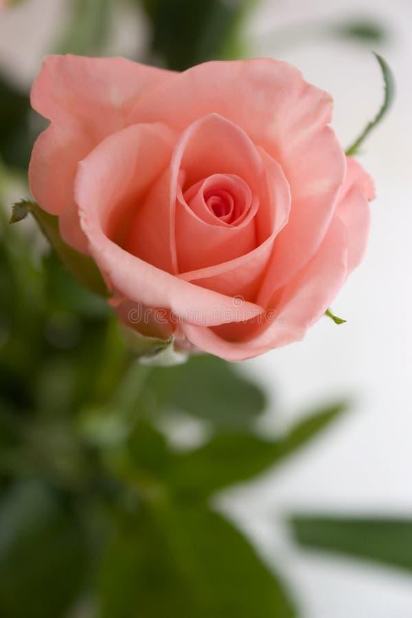 Download Pastel Pink Rose Royalty Free Stock Photo - Image: 1404135