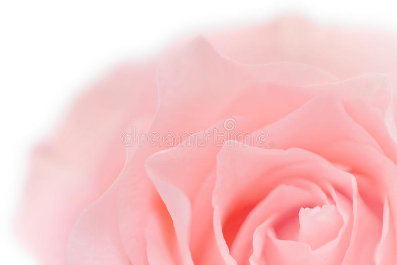 Pastel Pink Rose Close-up Stock Photography