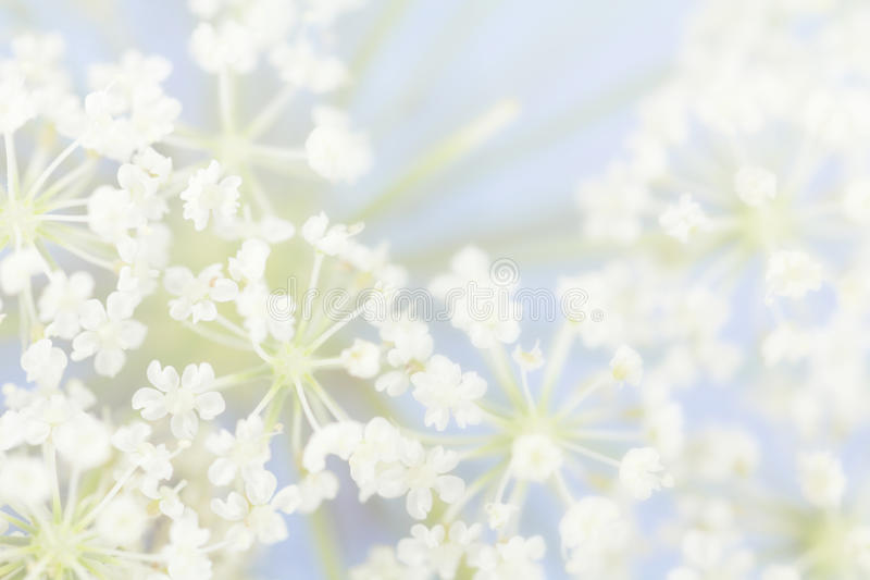 Pastel Queen Anne's Lace Flowers stock photo