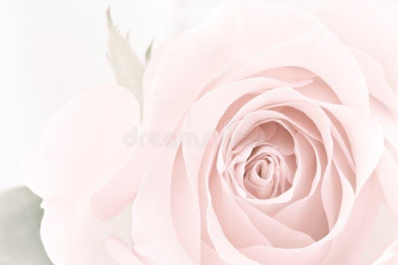 Pastel Rose Closeup Stock Photo