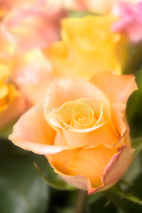 Pastel roses royalty free stock photos