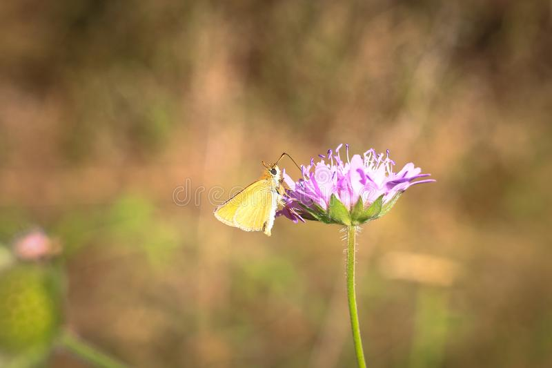 Pastel tones on a brown background purple flower with insect's butterfly bow grass and moths. Butterflies on flowers in the grass stock photography