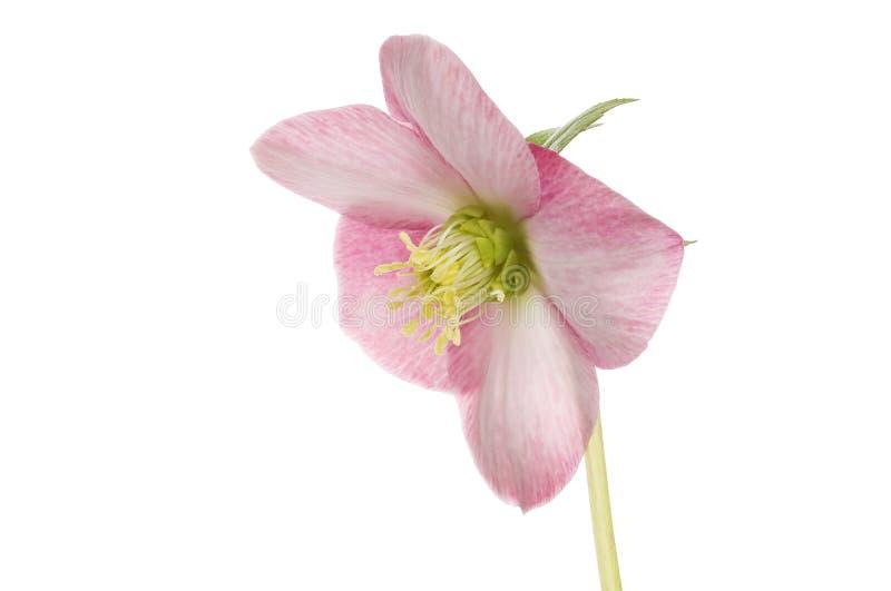 Pastelkleur roze hellebore royalty-vrije stock afbeeldingen