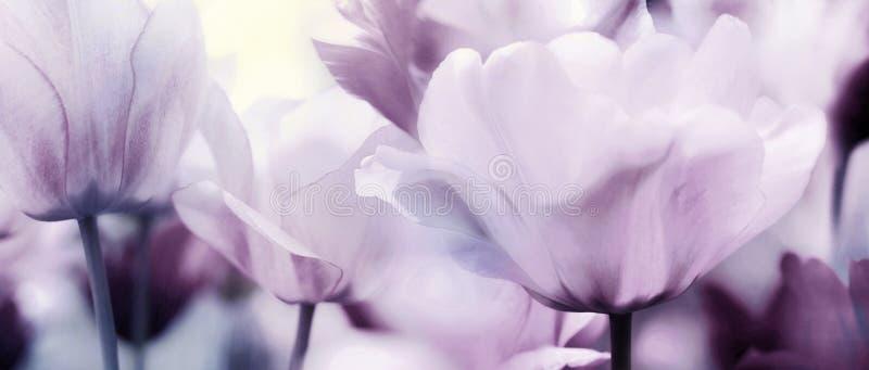 Pastelkleur roze purper panorama van tulpen stock afbeelding