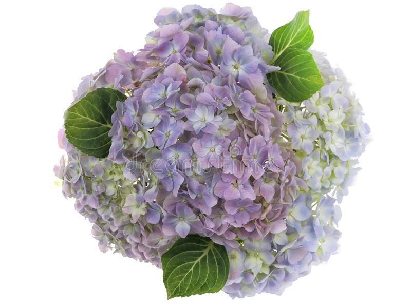 Pastell färbte Gruppe fotografierte frische Hortensieblumen auf weißem Hintergrund stockbilder