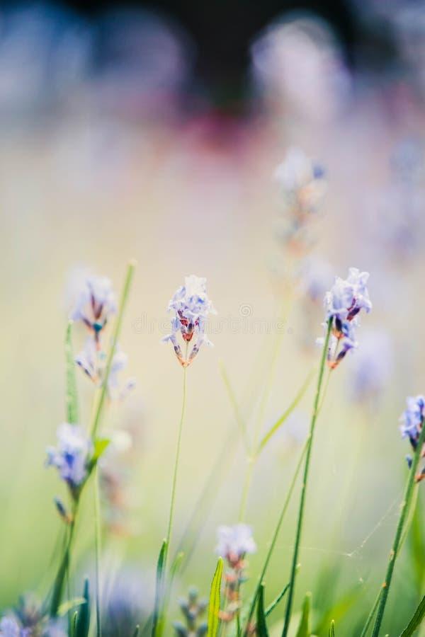 Pastellfärgad bakgrund för lavendel med bokeh som tonas arkivbilder