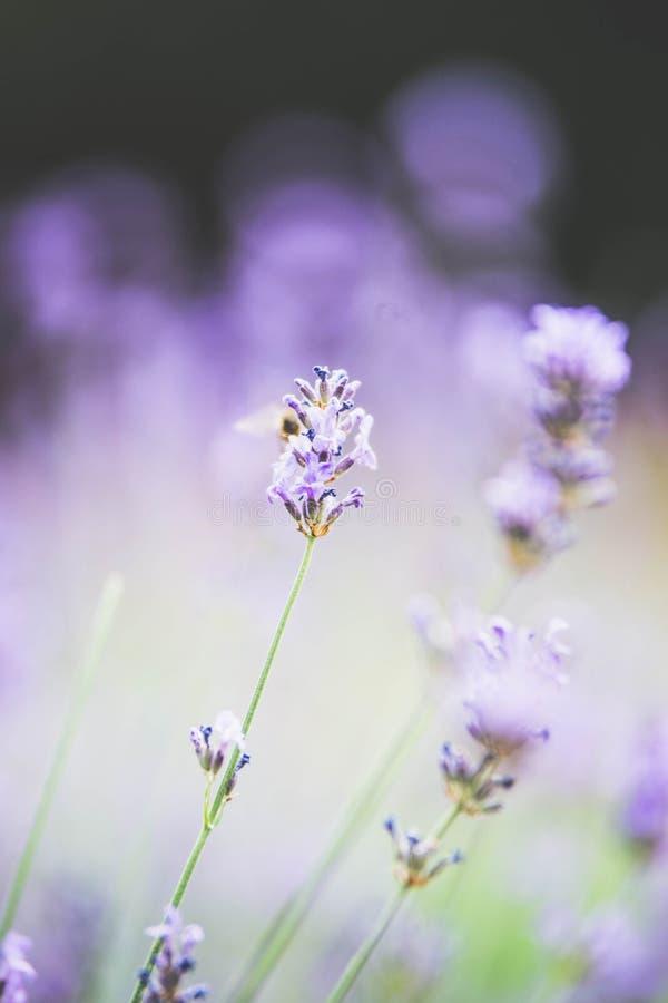 Pastellfärgad bakgrund för lavendel med bokeh som tonas royaltyfria foton