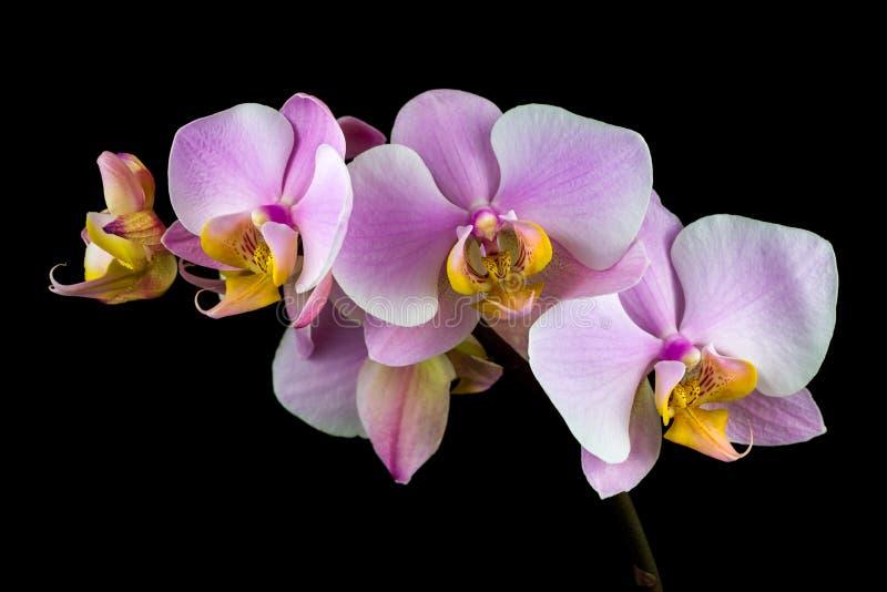 Pastellfärgad rosa orkidé arkivfoto