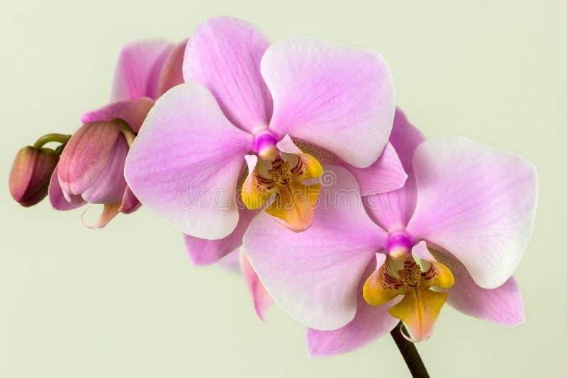 Pastellfärgad rosa orkidé royaltyfria foton