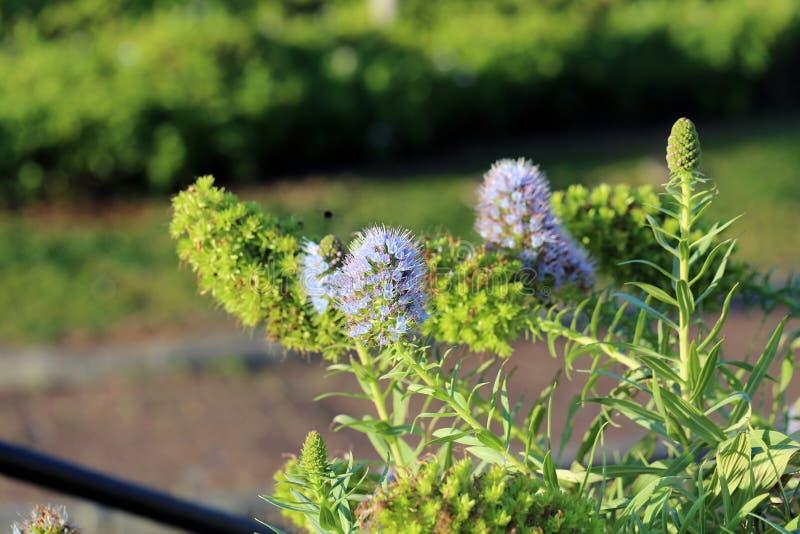 Pastellfärgade purpurfärgade små blommor under en Sunny Day i madeira royaltyfria foton