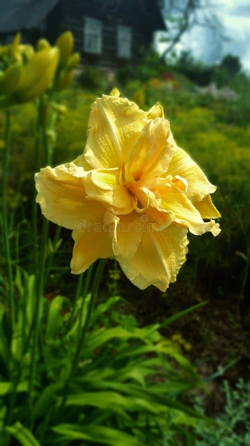 Pastello giallo dell'emerocallide nel giardino immagine stock