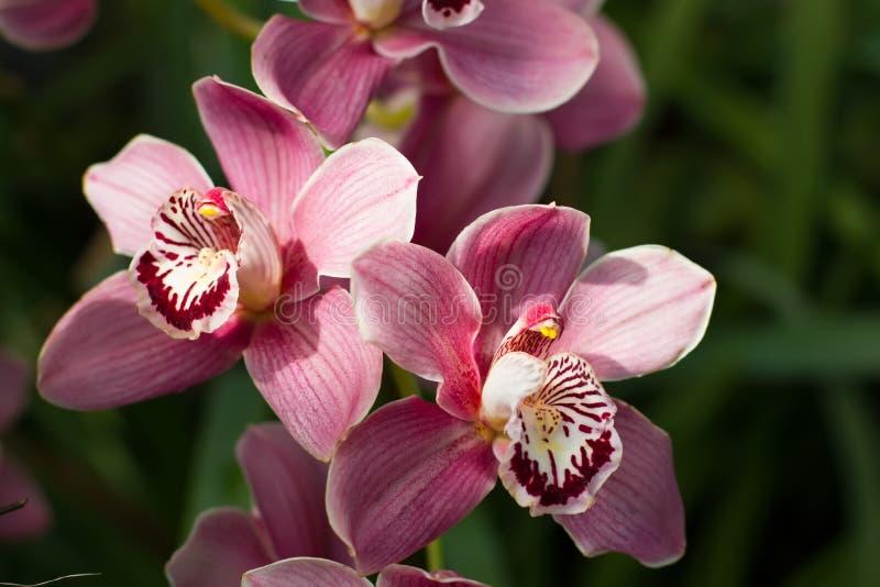 Pastellrosaorchidee mit hellem schönem Kern lizenzfreie stockfotos