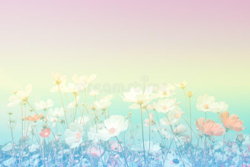 Pastelowego brzmienia piękni kosmosy kwitną w polu obraz royalty free