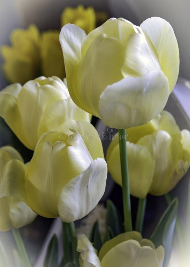 Pastelowi Żółci tulipany na pokazie zdjęcia royalty free