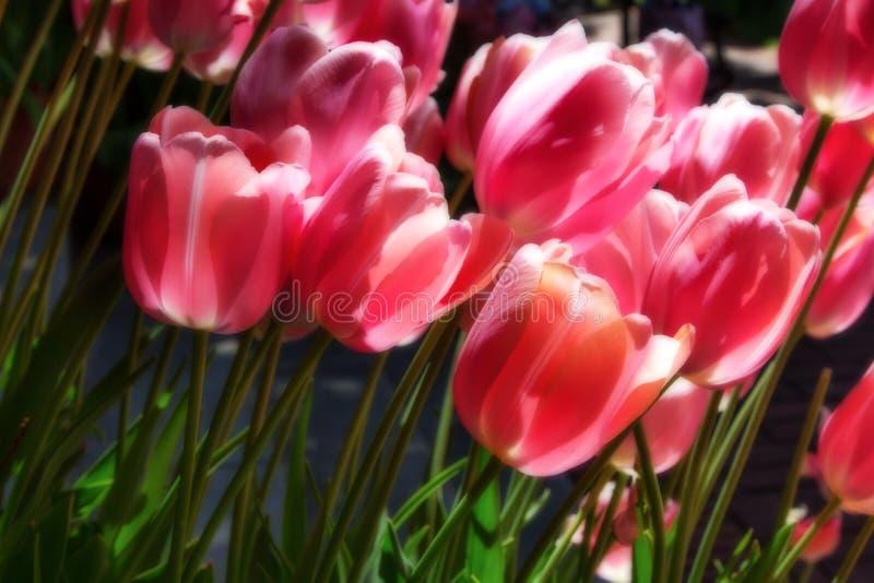 Pastelowi tulipany w wiośnie obraz stock