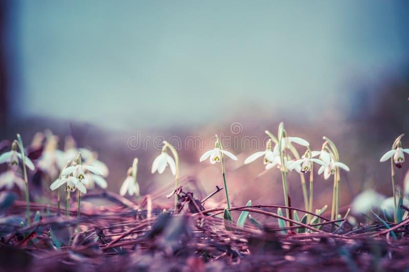 Pastelowy stonowany pierwszy sprig kwitnie śnieżyczki przy plenerowym natury tłem, frontowy widok obrazy royalty free