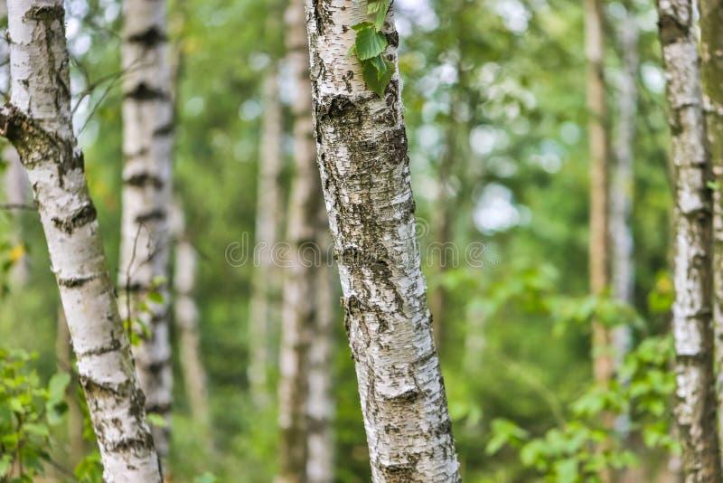 Pastelowych brzoz lata lasowy tło zdjęcie royalty free
