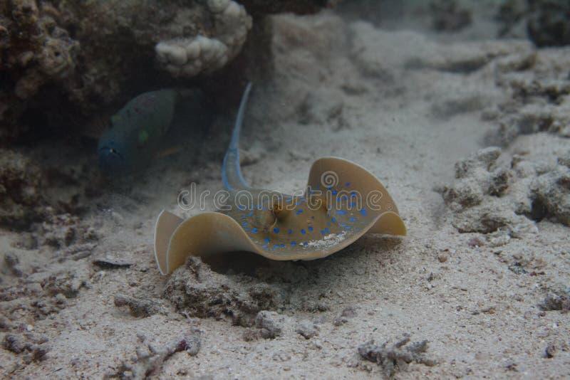 Pastenague de Bluespotted en Mer Rouge photos stock
