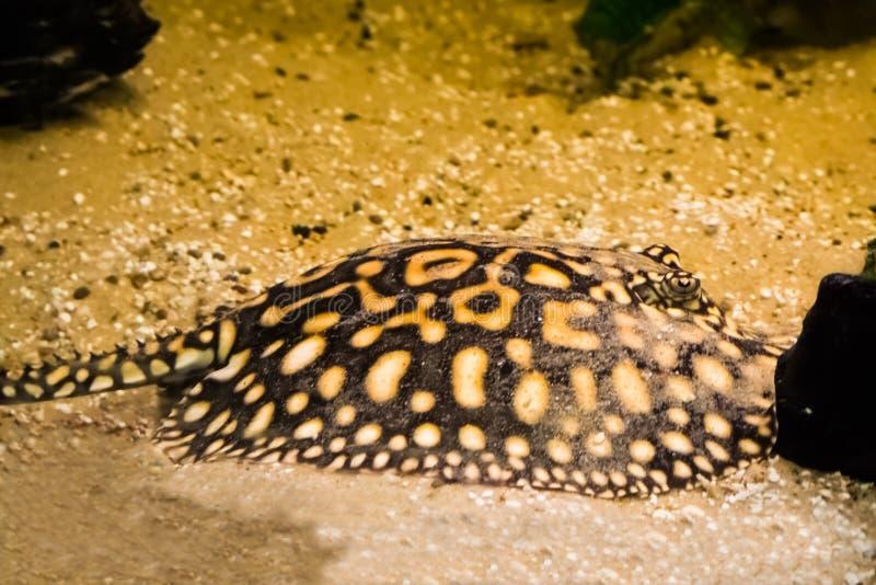 Pastenague noire s'étendant sur le fond, camouflé dans le sable, animal familier tropical d'aquarium du Brésil photographie stock libre de droits