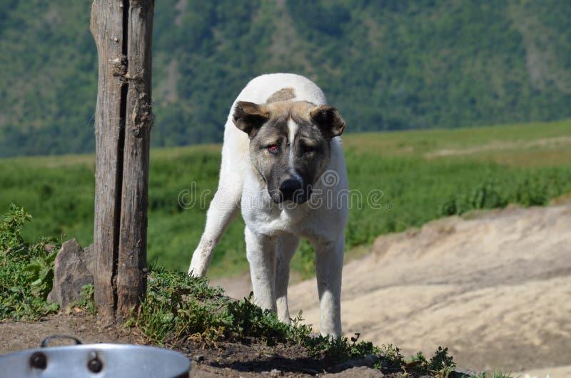 Pasterscy psy chroni cakla gromadzą się blisko Ilisu, Wielka Kaukaz wioska w westernie Azerbejdżan zdjęcie royalty free