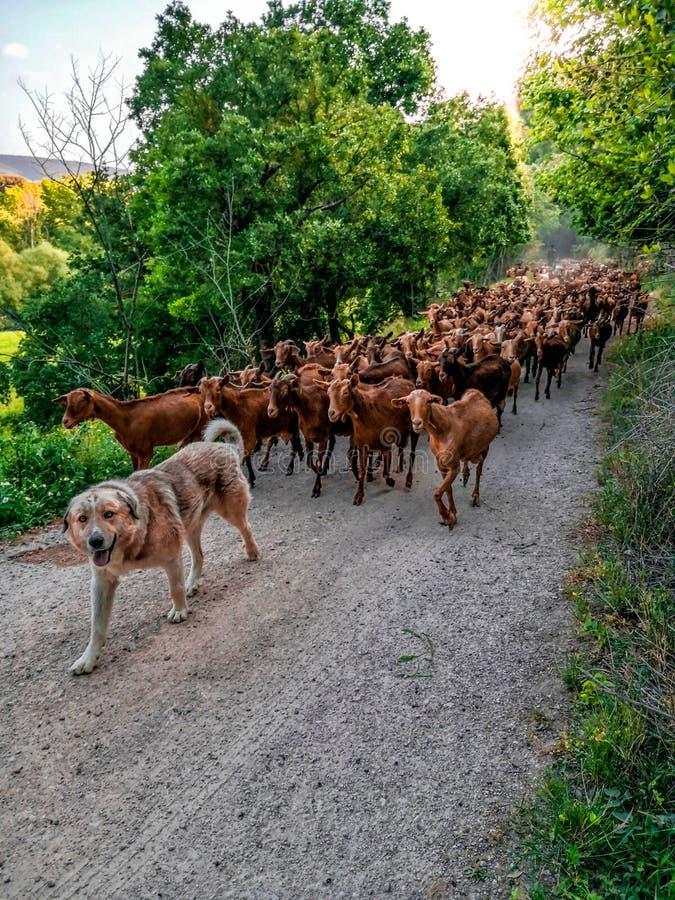Pasterskiego psa wiodące kózki na brud ścieżce w Hiszpania obrazy stock