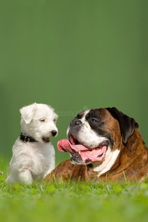 Pasteur Jack Russell Terrier et boxeur allemand images libres de droits