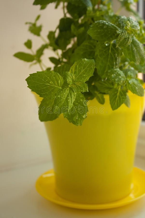 Pastilha de hortel? org?nica da casa, piperita do Mentha, em um peitoril da janela, jardinando Potenciômetro amarelo com a terra foto de stock