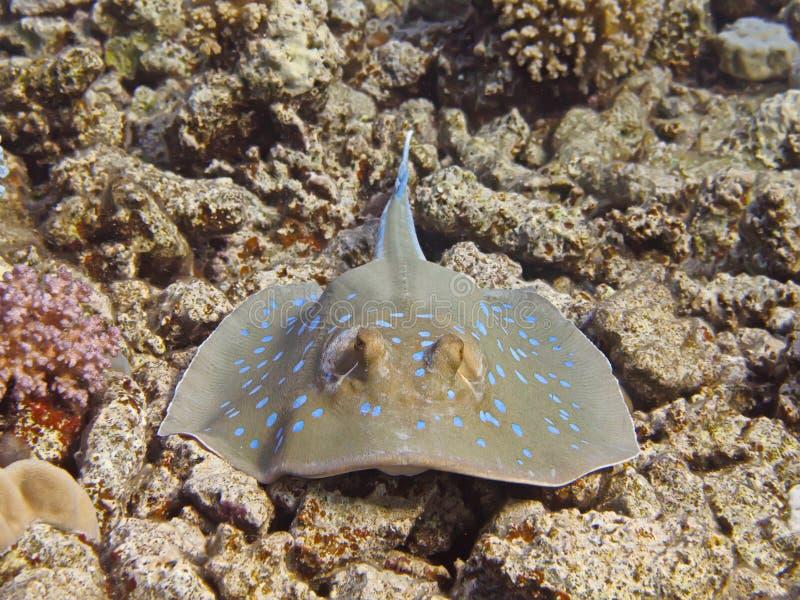 Pastinaca del ribbontail de Bluespotted (lymma de Taeniura) cerca del arrecife de coral foto de archivo libre de regalías