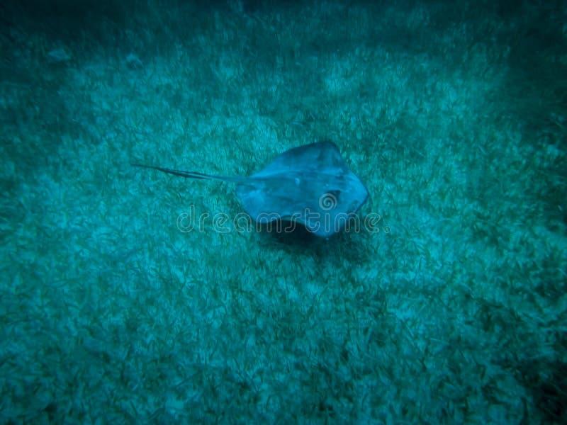 Pastinaca en el mar del Caribe - calafate de Caye, Belice fotos de archivo