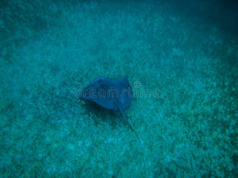 Pastinaca en el mar del Caribe - calafate de Caye, Belice imagenes de archivo