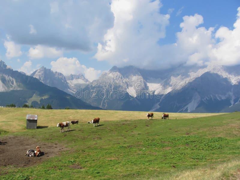 Pasto alpino con las vacas en primero plano y la opinión Sesto Dolomites, el Tyrol del sur, Italia en fondo fotografía de archivo