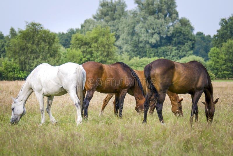Pasto de caballos foto de archivo