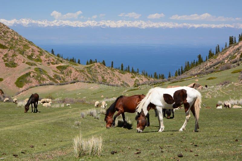 Pasto de caballos Cerca de Bokonbayevo Regi?n de Issyk-Kul kyrgyzstan imágenes de archivo libres de regalías
