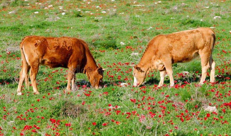 Pasto de ganado fotos de archivo