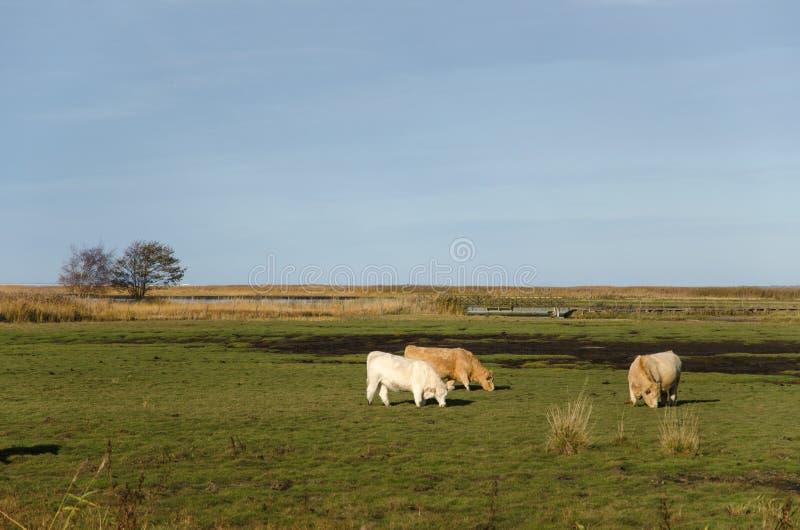 Pasto de ganado en la región pantanosa fotos de archivo libres de regalías