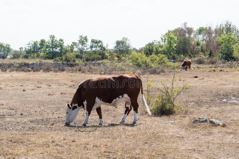 Pasto de ganado en un prado secado fotografía de archivo