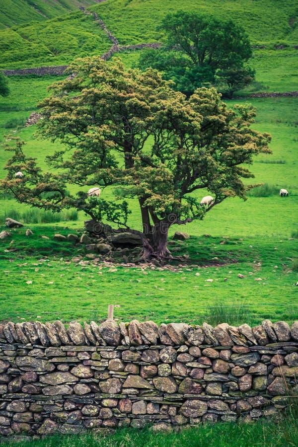Pasto de la manada de ovejas en pasto con la cerca rocosa en el lago district imágenes de archivo libres de regalías