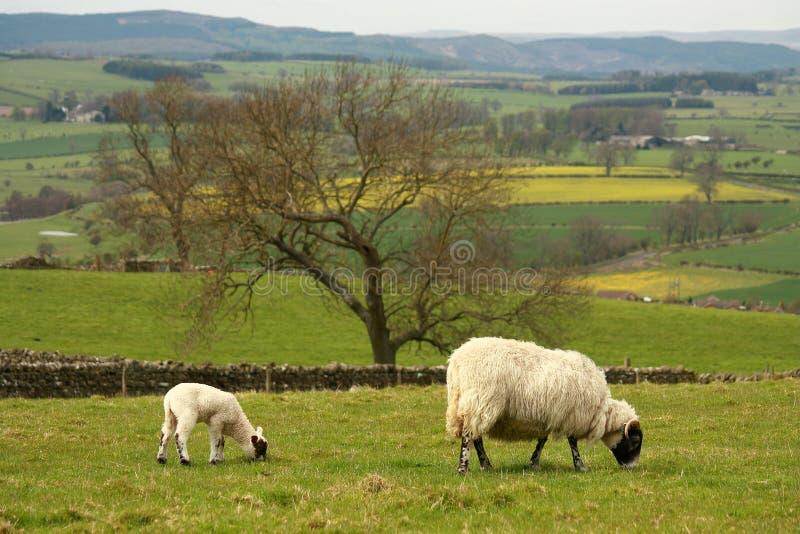 Pasto de la oveja con el cordero fotos de archivo