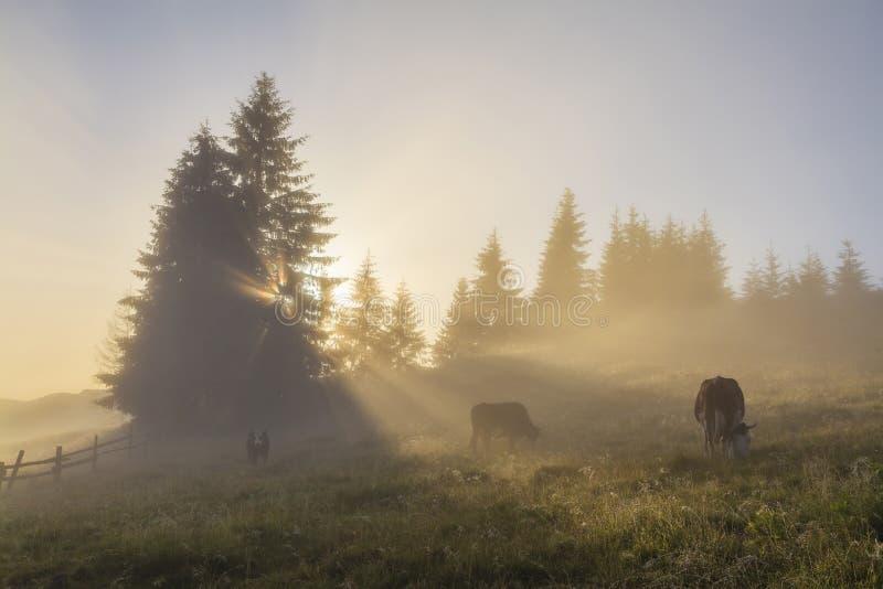 Pasto de la vaca en prado de la mañana imágenes de archivo libres de regalías