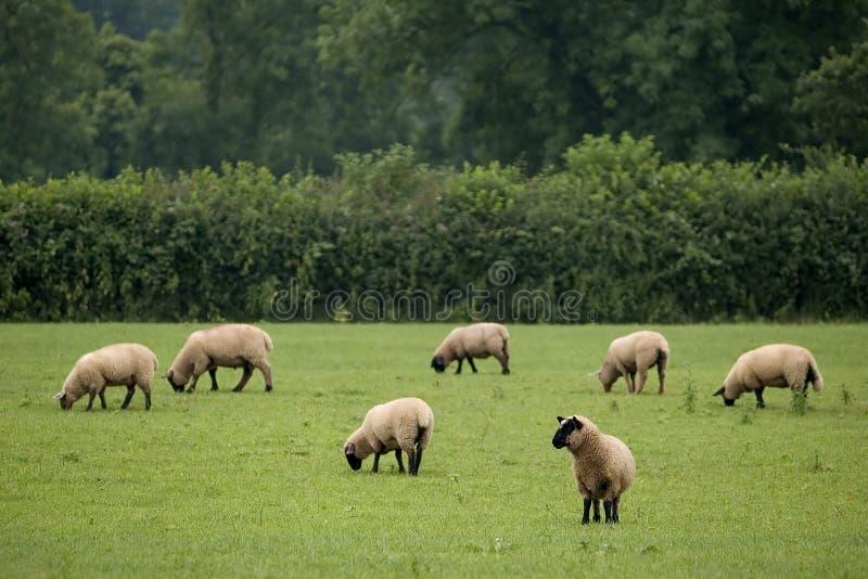 Pasto de ovejas fotos de archivo