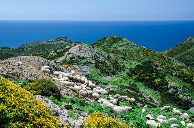 Pasto de ovejas en la costa de Cerdeña imagen de archivo