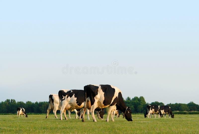 Pasto de vacas imagen de archivo libre de regalías