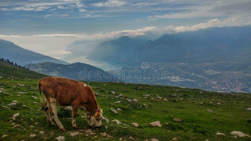 Pasto de vacas cerca de un lago fotografía de archivo