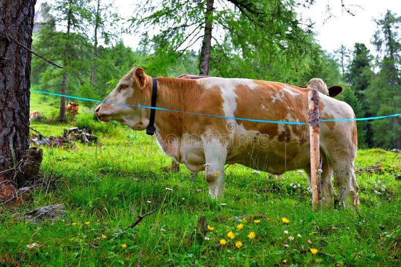 Pasto de vacas en los di Funes de Val fotografía de archivo