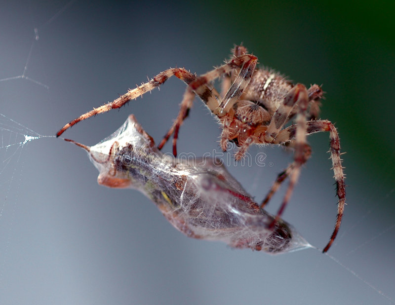 Download Pasto del ragno fotografia stock. Immagine di grasshopper - 217720