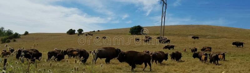 Pasto do bisonte fotos de stock