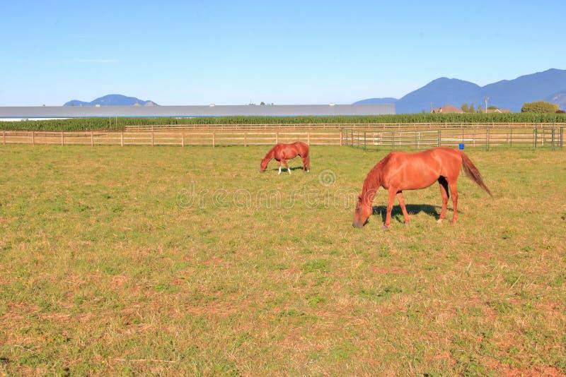 Pasto e cavalos bonitos foto de stock royalty free