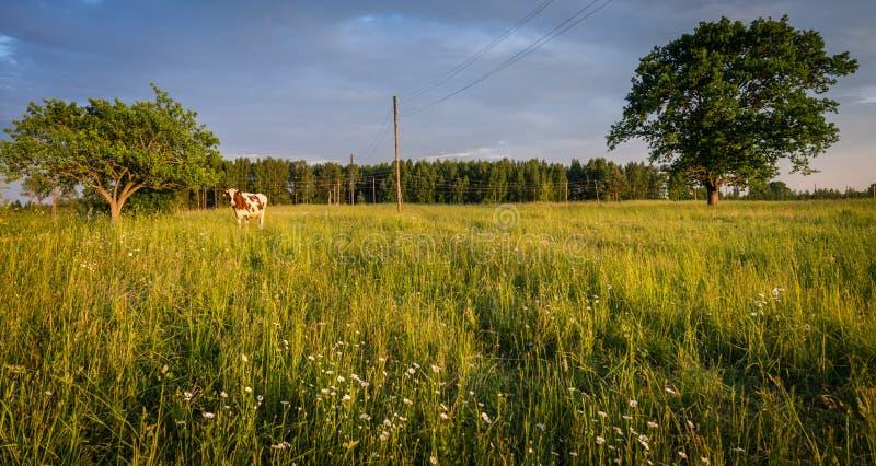 Pasto no campo letão imagem de stock