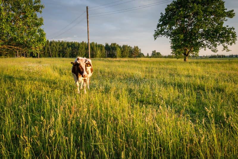 Pasto no campo letão imagens de stock royalty free