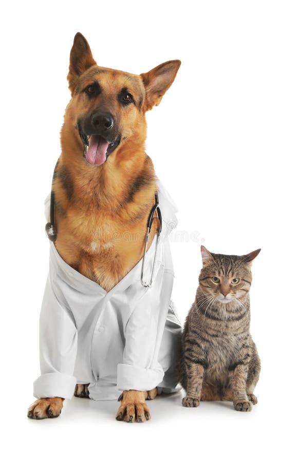 Pastor alemán con el estetoscopio vestido como el veterinario doc. y gato fotografía de archivo libre de regalías